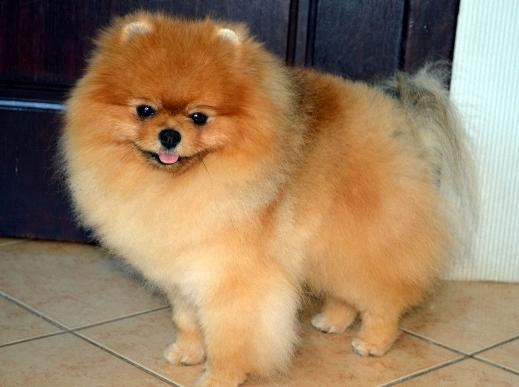 Puppies For SALE Pomeranians Sale